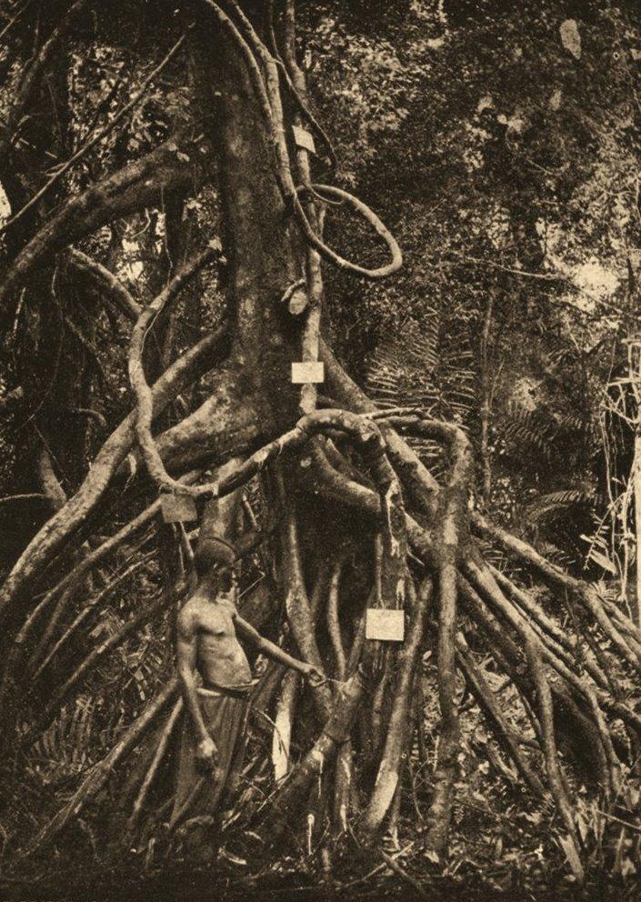 Un rampicante da cui si ricavava il caucciù del Congo. Fotografia pubblicata dal Congo Belga nel 1909 Foto: Age Fotostock