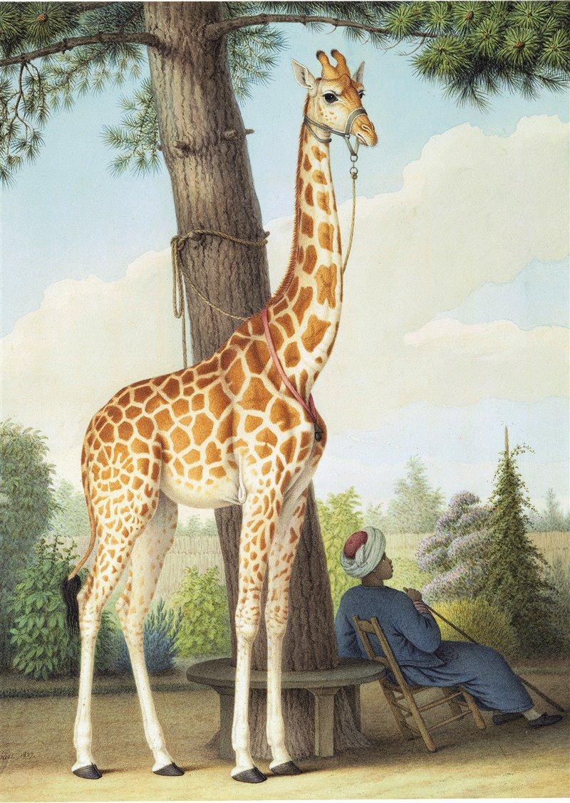 Acquerello di Nicolas Huet il Giovane raffigurante la giraffa regalata a Carlo X